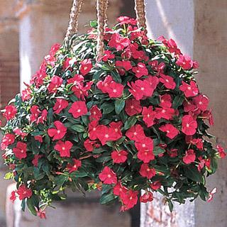 Vinca Mediterranean Deep Rose Hybrid