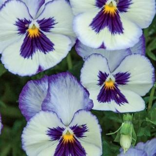 Wonderfall™ Blue Picotee Pansies