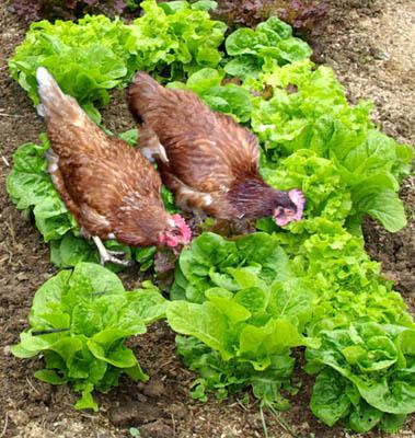 Chicken Chow Lettuce Mix Organic