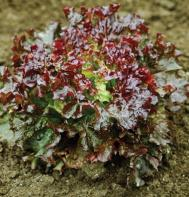 Teide (Pelleted) Summer Crisp Lettuce