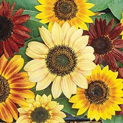 Monet Mix Sunflowers