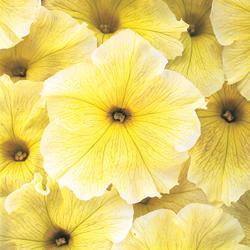 Petunia x h. 'Prism Sunshine' F1 Hybrid
