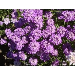 Dwarf Purple - Candytuft