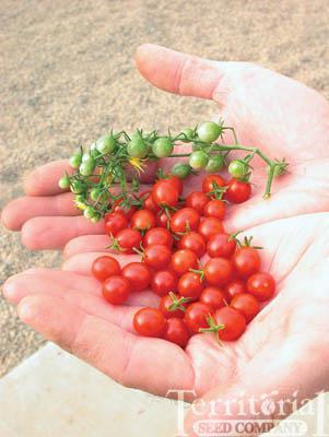 Sweet Pea Currant Tomato Organic