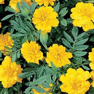 Marigold Boy Yellow Detailed