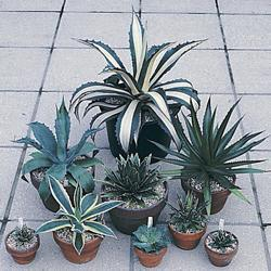 Agave Species Mixed