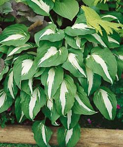 SOLD OUT Night Before Christmas Hosta - 3 root divisions