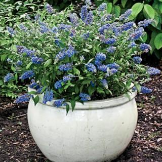 Blue Chip Dwarf Butterfly Bush