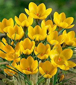 SOLD OUT Goldilocks Species Crocus - 10 bulbs
