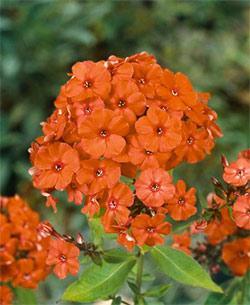 Orange Perfection Tall Summer Phlox - 3 root divisions