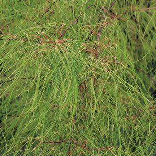 Fairy Hair Acer Palmatum Japanese Maple Tree Reviews