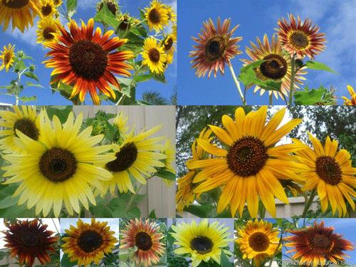Sunflower, Ornamental Mix