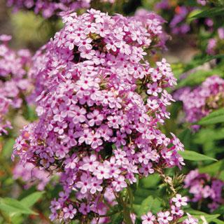 Hardy Garden Phlox 'Jeana'