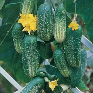 Cucumber Cool Breeze Hybrid