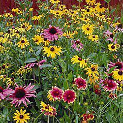 Native Perennial Wildflower Mix