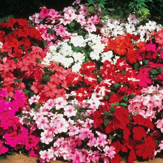 Impatiens Accent Hybrid Mix