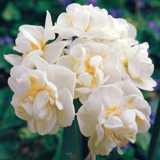 Erlicheer Daffodil Bulb - Pack of 5