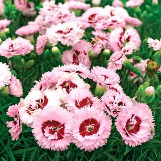 Raspberry Surprise Dianthus Carnation Plant