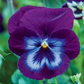 Wonderfall™ Purple and Blue Shades Pansies