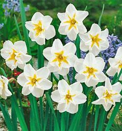 SOLD OUT Lemon Beauty Split Cup Daffodil - 10 bulbs