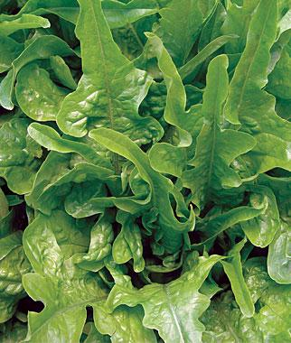 Lettuce, Royal Oak Leaf