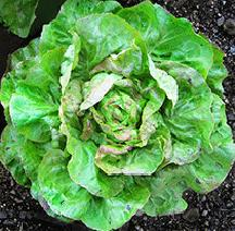 Lettuce, Hungarian Pink Winter