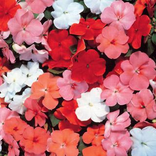 Impatiens Accent Sunrise Hybrid Mix