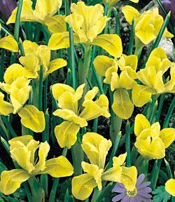 SOLD OUT Danfordiae Dwarf Iris - 10 bulbs
