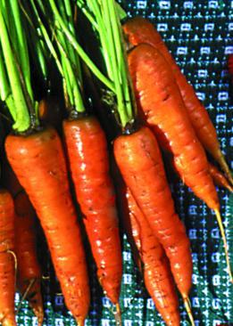Carrot, Saint Valery
