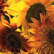 Discovery Mix Sunflower