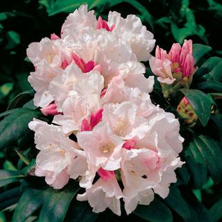 Yaku Prince Rhododendron yakushimanum Shrub