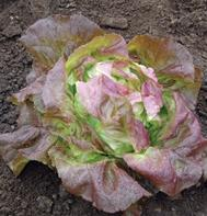 Skyphos (Pelleted) Butterhead Lettuce