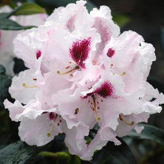 Sapporo Rhododendron Shrub