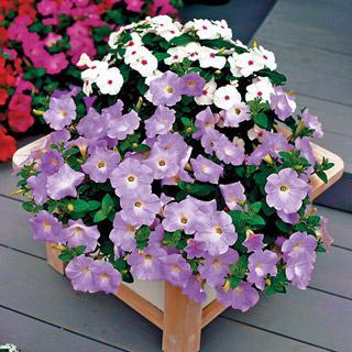Petunia Avalanche Lavender Hybrid