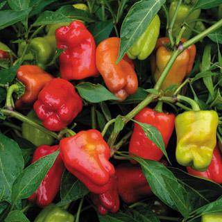 Pepper Cajun Belle Hybrid