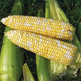 Corn 'Revelation Hybrid'