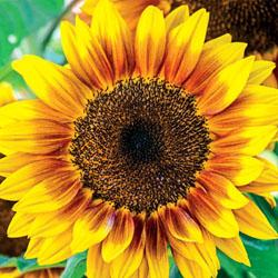 Sunflower annuus 'Solar Flash' F1 Hybrid