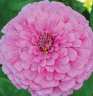 Giant Dahlia Flowered Bright Pink