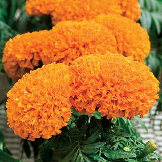 Marigold Moonsong Deep Orange