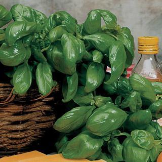 Organic Basil Large Leaf Italian
