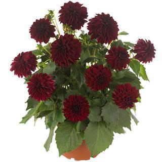 Hypnotica® Dark Knight Dahlinova Dahlia Plant