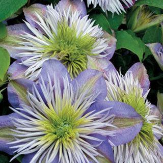 Crystal Fountain™ Clematis Virgin's Bower Plant