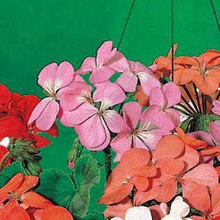 Geranium Sensation Rose