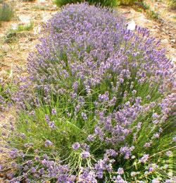 Lavender-Munstead