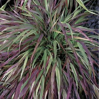 Naomi Hakonechloa macra Japanese Grass Plant