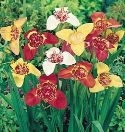 Mexican Shell Flowers Tigridia - 25 bulbs