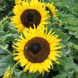 Sunflower annuus 'Choco Sun'