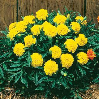 Marigold Janie Yellow