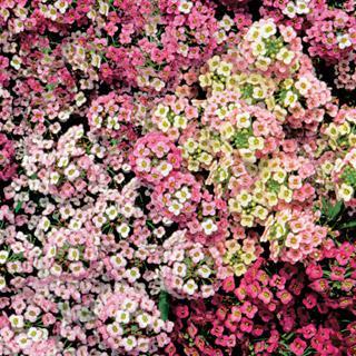 Sweet Alyssum Pastel Carpet