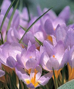 SOLD OUT Firefly Species Crocus - 10 bulbs